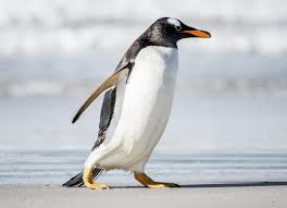 facts about gentoo penguins that will leave you dumbfounded