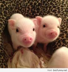 Funny Pig Memes - two sweet little pigs funny pictures funny quotes funny memes
