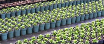 compo expert nursery ornamentals producing constant quality