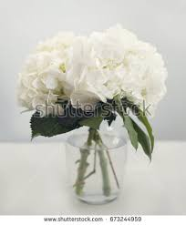 white hydrangea white hydrangea stock images royalty free images vectors