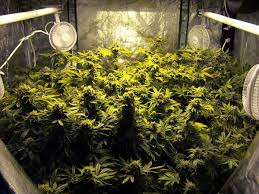 Room With Plants How To Produce 1 Gram Watt Of Cannabis From Your Grow Light