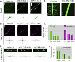 two class xi myosins function in organelle trafficking and root