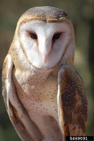 Where Does The Barn Owl Live Barn Owl Tyto Alba Natureworks