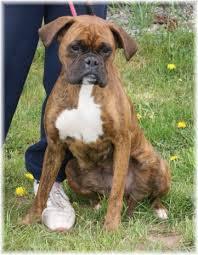 rescue a boxer dog lola u2013 18 month old female boxer dog for adoption at babworth