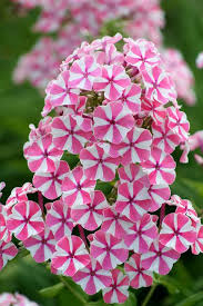 phlox flower phlox paniculata natascha flowers and beautiful roses