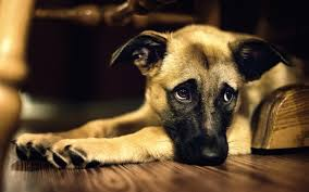 dog wallpapers dog free download