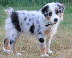 3 month australian shepherd bodie the australian shepherd animals pinterest australian