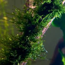 Aquascape Moss Five Of The Best Aquarium Mosses U2014 Practical Fishkeeping Magazine