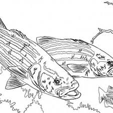 baby bass fish coloring pages baby bass fish coloring pages