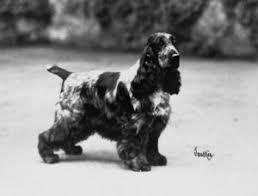 imagenes de english cocker spaniel judging the english cocker spaniel canine chronicle