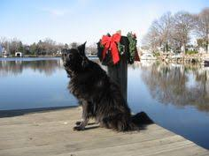 belgian sheepdog rescue ohio wolfcub the belgian shepherd having a ball share if you like