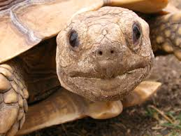 Blind Turtle Prices Help Us Save The Turtles And Tortoises American Tortoise Rescue