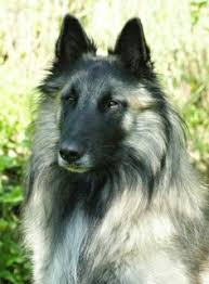 belgian shepherd x lurcher groenendael with a perfect coat i love his thick mane like fur