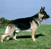 belgian sheepdog on petfinder adopt a german shepherd dog dog breeds petfinder