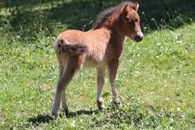 ferrari horse stallions u0026 colts sierra miniature horses