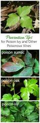 best 25 identify poison ivy ideas on pinterest