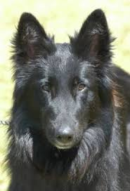 belgian sheepdog size and weight groenendael u2013 black belgian shepherd groenendael pinterest