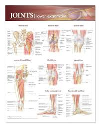 Foot Ligament Anatomy Shop For Foot Anatomy Models U0026 Charts Human Foot Anatomy Models