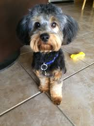 how to cut a yorkie poo s hair adorable new hair cut for my yorkie poo yelp