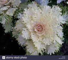 a white ornamental flowering kale plant stock photo royalty free