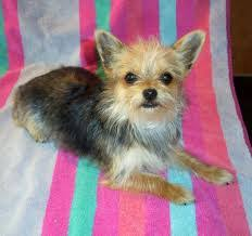 short haired chorkie chorkie chihuahua yorkshire terrier mix