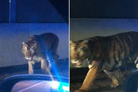 mystery of the tiger that terrorized atlanta is solved new york post