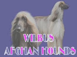 afghan hound gif afghan hounds
