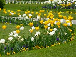 Tulip Field Free Images Nature Grass Blossom Lawn Prairie Bloom Spring