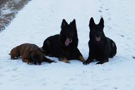 belgian shepherd malaysia douglas u0027s german shepherd dog home facebook