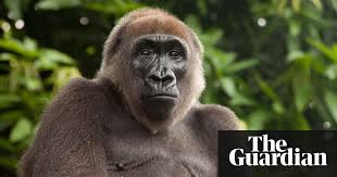 siege social bonobo survival of africa s great apes requires palm industry support says