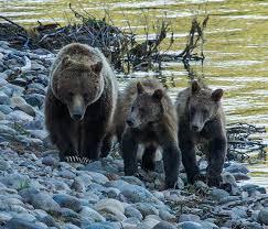 Bears Montana Hunting And Fishing - protect grizzly bears in idaho montana and wyoming the humane