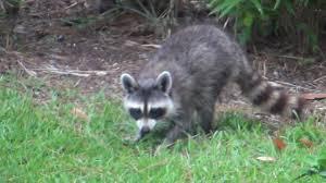 raccoon in my backyard youtube