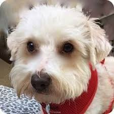 bichon frise dogs for adoption la costa ca bichon frise mix meet tipper a dog for adoption