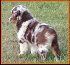 mini australian shepherd 8 weeks mini aussie pup for sale 2014 litter 5 callie pup 1 red merle