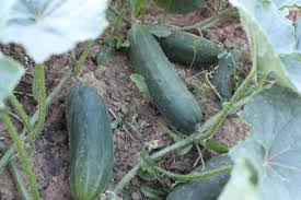 tips and tricks to growing great cucumbers old world garden farms