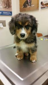 australian shepherd german shepherd 28 best australian shepherd mixes images on pinterest animals