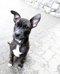 american pitbull terrier apbt things to consider before getting a pit bull german shepherd mix