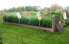 backyard garden raised bed with asparagus tips to planting