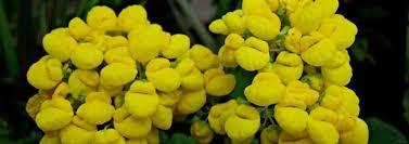 slipper flower s slipper slipper flower slipperwort pocketbook plant