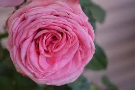 kostenlose foto blume blütenblatt farbe romantik romantisch