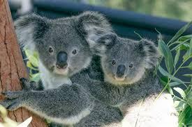 koala population crash highlights long list government failures