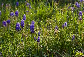 removing grape hyacinths u2013 tips on getting rid of grape hyacinth bulbs