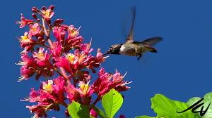 hummingbirds bees the pollinators at summerland ornamental