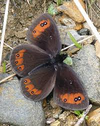 dragonfly butterfly gray black orange and white butterfly