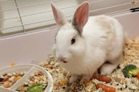 rabbits for sale buy sell u0026 rehome pets4homes uk