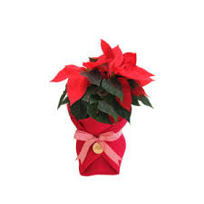 indoor house pot plants u0026 gifts online delivery in sydney cbd
