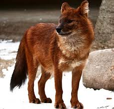 Asian Dog Meme - dhole wild asian red dog animal pictures and facts factzoo com