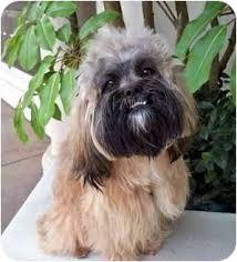 affenpinscher with underbite je t u0027aime adopted dog santa monica ca lhasa apso wheaten