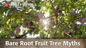 the versatile pomegranate tree or espalier shrub hedge or