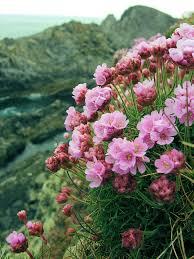 malin head northern sea thrift malin head donegal thrift and ireland